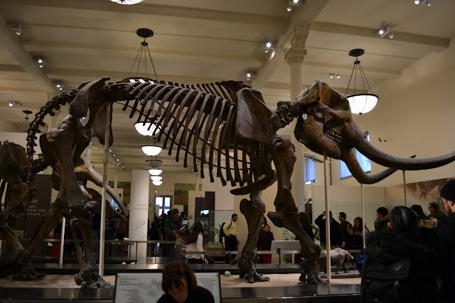 Мамонт. Трицераптор. Американський музей природознавства, Нью-Йорк(American Museum of Natural History, NYC)