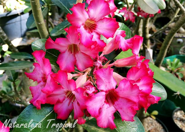 Numerosas flores de la Rosa del Desierto, Adenium obesum