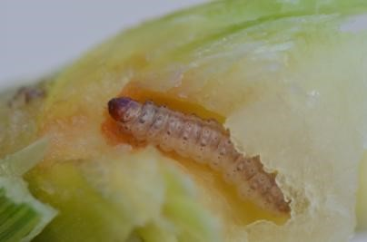 european-corn-borer-damage