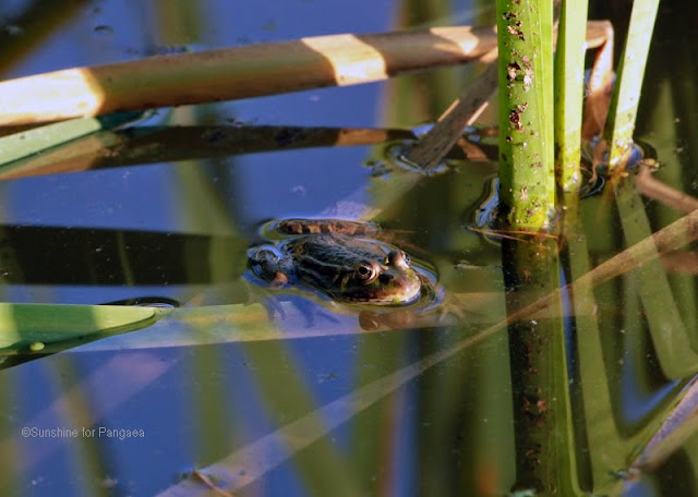 Edible Frog (Pelophylax kl. esculentus)/Germany