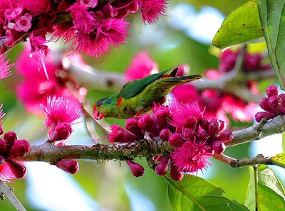 Red fronted lorikeet