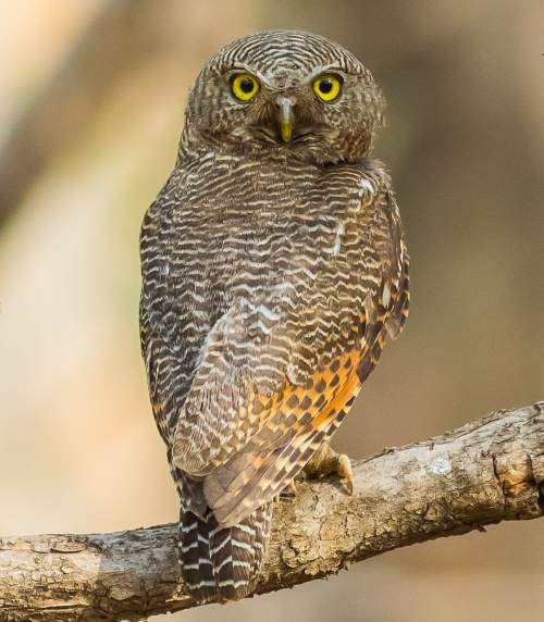 Jungle owlet - Glaucidium radiatum