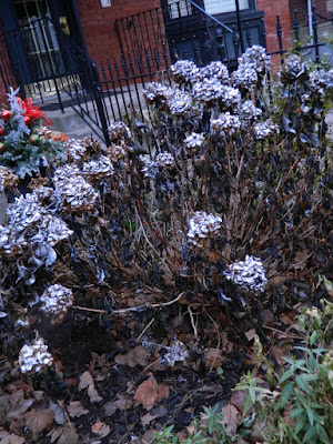 Spray painted Annabelle Hydrangeas by garden muses-not another Toronto gardening blog