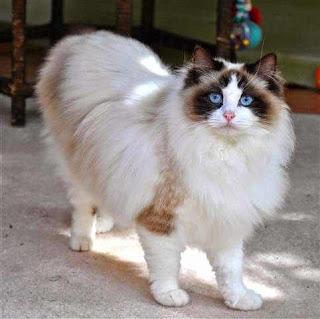 gato-ragdoll-raza-caracteristicas