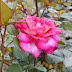 Roseira 'Bolchoi'