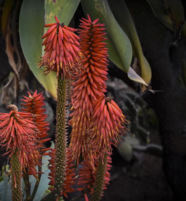 veltheimia,madeira,flowersofmadeira,madeiraparadiseisland,paradise,paradiseisland,red,redflower,eden