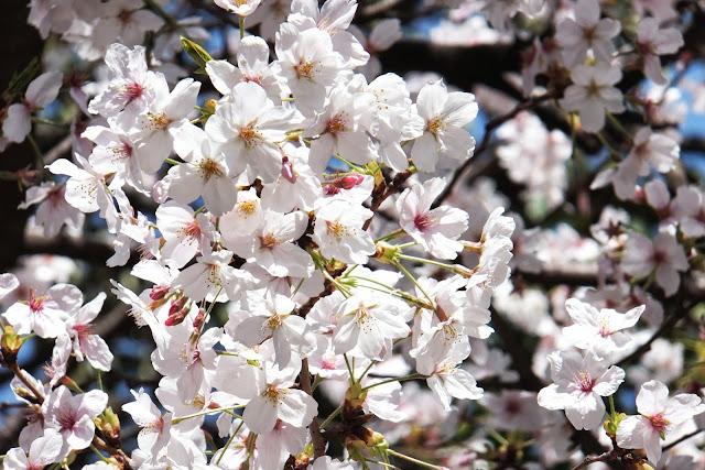 Japanese-sakura 日本の桜