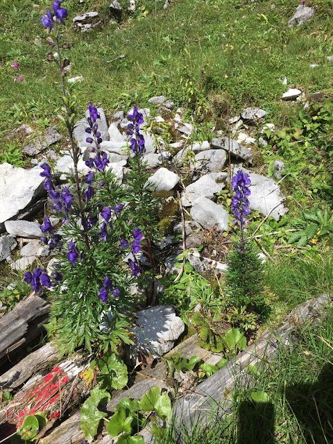 blau blühende Pflanzen
