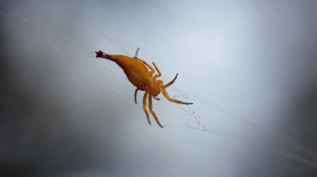 Arachnura-Higginsi