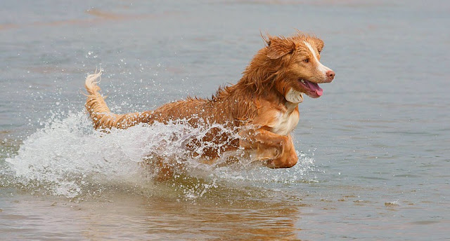 Toller tolling for ducks