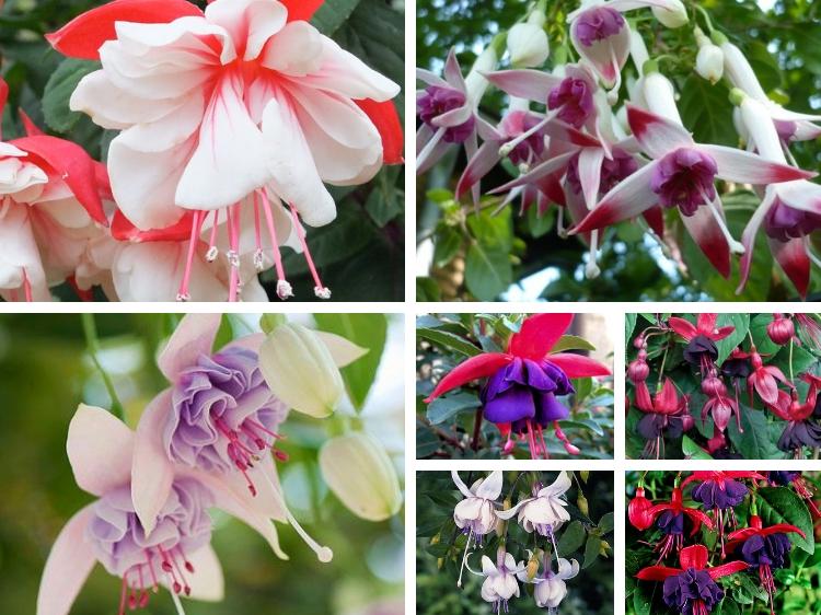 How To Grow Fuchsia // www.thejoyblog.net
