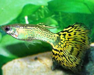 ikan guppy ikan hias air tawar tahan lama awet