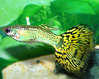 Ini Dia Nama Ikan Hias di Aquarium Yang Tidak Gampang Mati