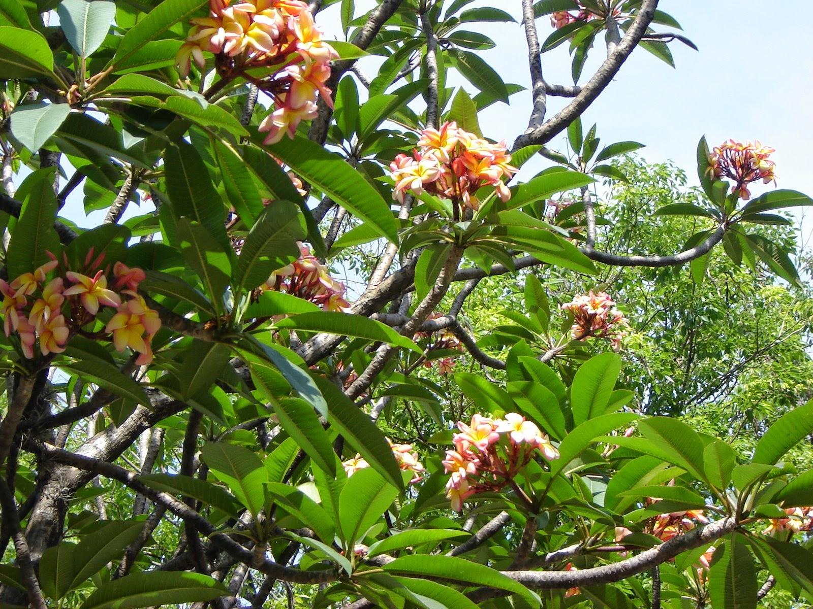V e r d e c h a c o jazm n magno frangipani for Planta ornamental blanca nieves
