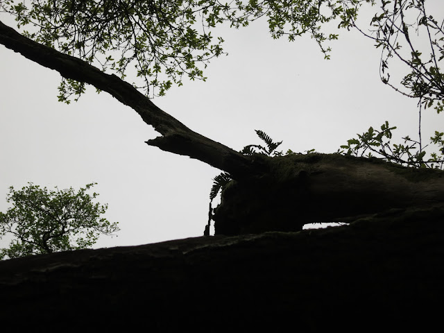 Silhouette of fern on branch of (sessile?) oak tree.