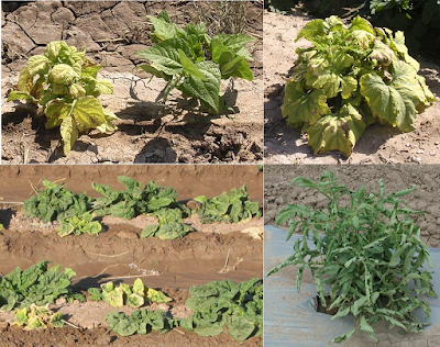 A composite photo of different plants infected with a virus - top left is beans, top right is pumpkin, bottom leaf is spinach, and bottom right is tomato