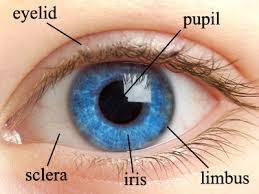 iris structure