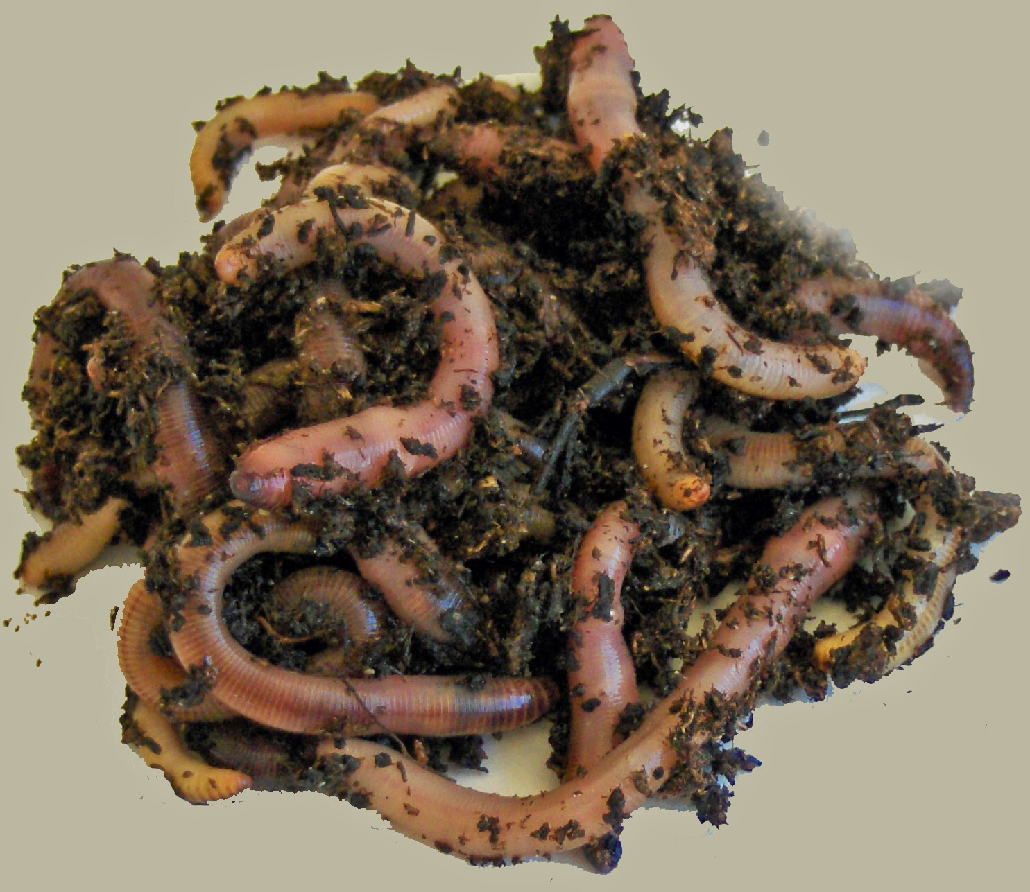 European night crawlers for composting