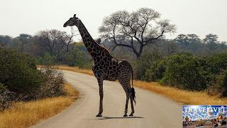 Afrique du sud Parc Kruger Une girafe qui traverse la route
