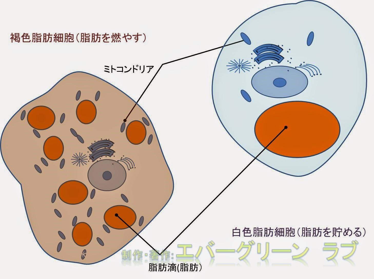 イリシン, ベージュ脂肪細胞, 内臓脂肪, 白色脂肪細胞, 皮下脂肪, 筋トレ, 脂肪組織, 褐色脂肪細胞, 運動,