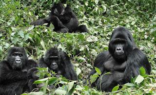 """gorilla trekking safari, Rwanda -uganda safari, gorilla safaris, uganda primate tours, chimps uganda,chimps rwanda, primate watching, chimpanzee trekking,, gorilla permits rwanda uganda, gorilla tracking uganda rwanda, uganda rwanda tours, uganda rwanda safaris, uganda rwanda tour guides, rwanda tour agent, volcanoes national park, rwanda tour operator, rwanda gorillas, rwanda chimpanzee tour, primates rwanda, group tour uganda rwanda, private tour uganda rwanda, congo gorillas, congo gorilla trek, gorilla tracking congo, lowland gorilla safaris, tour lowland gorillas"""" />"""