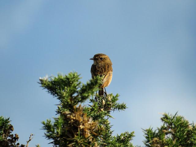 Rogerstown Estuary bird watching: stonechat