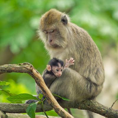 Klasifikasi Macaca fascicularis