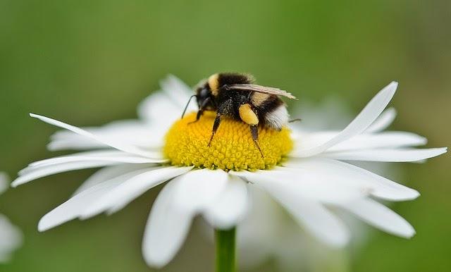 Le Pollen, remède naturel miracle ?