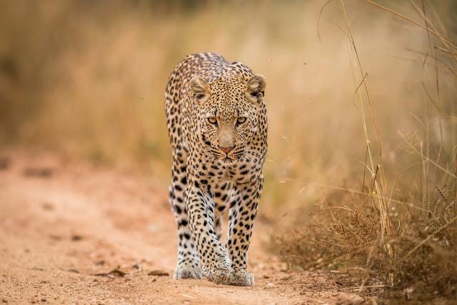 Leopardo en el Parque Nacional Kruger, Sudáfrica