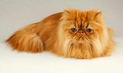 Persian cat red