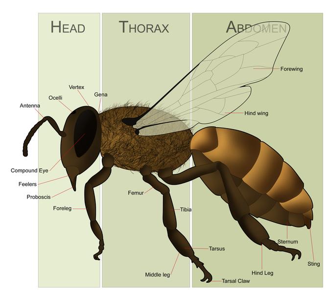 Female Honeybeeanatomy on Honey Bee Body Parts Diagram