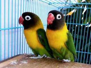 Harga Lovebird Dakocan, Betmen, Biru Mangsi Dan Jenis Lainnya