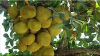 gambar buah nangka, bahasa arab nangka