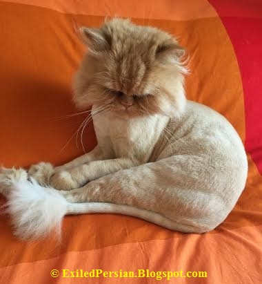 Shaved Persian Cat 62