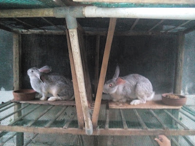 Kelinci Tidak Produktif