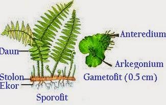 Ciri-Ciri Klasifikasi Tumbuhan Paku (Pteridophyta), paku sejati