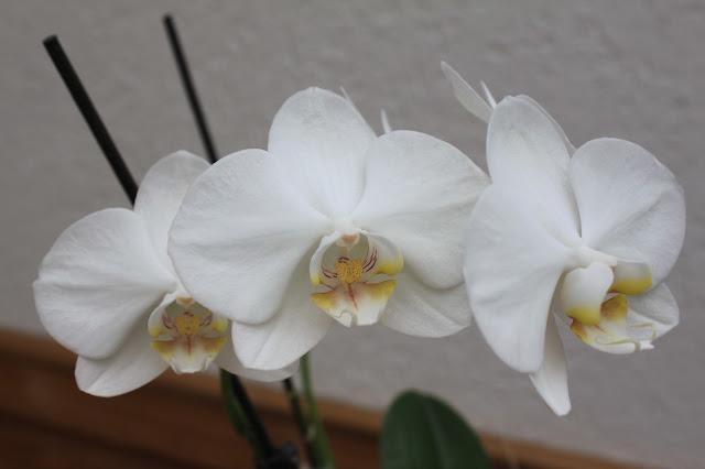 lange Blühzeit von Orchideen