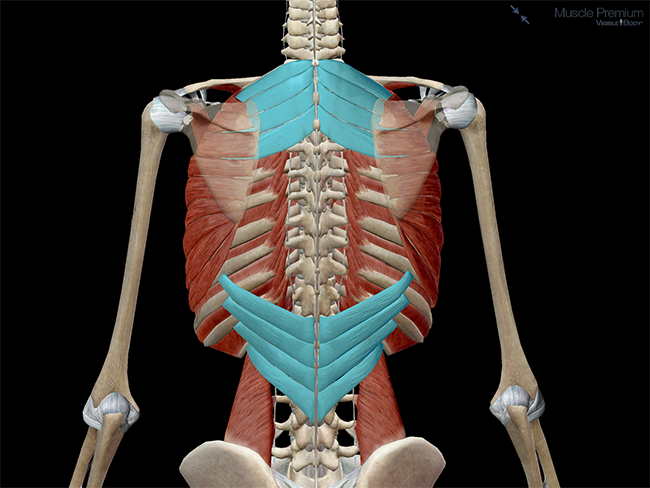 Serratus posterior muscles Anatomy Function Pathology Kenhub - serratus posterior superior