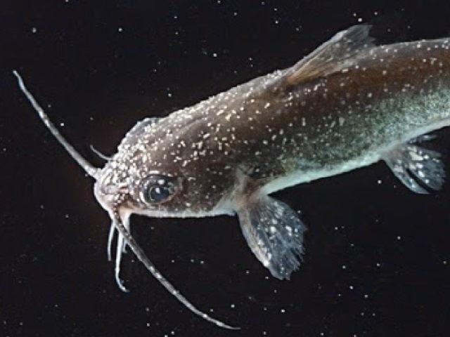 Penyakit Ikan Patin