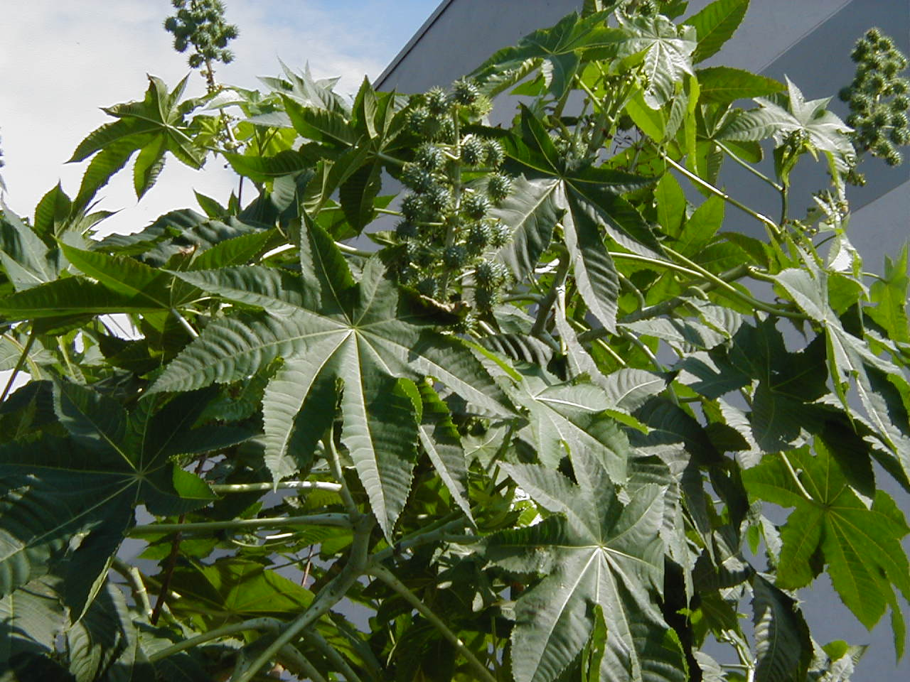 Plantas medicinales | Higuereta (Ricinus communis L)