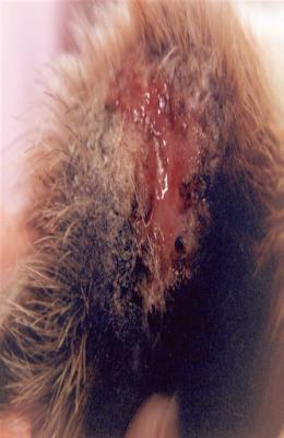 Teknik Operasi Granuloma pada Hewan (Bedah Integumen)