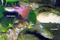 Erke ve dişi lepistes balıkları yüzerken