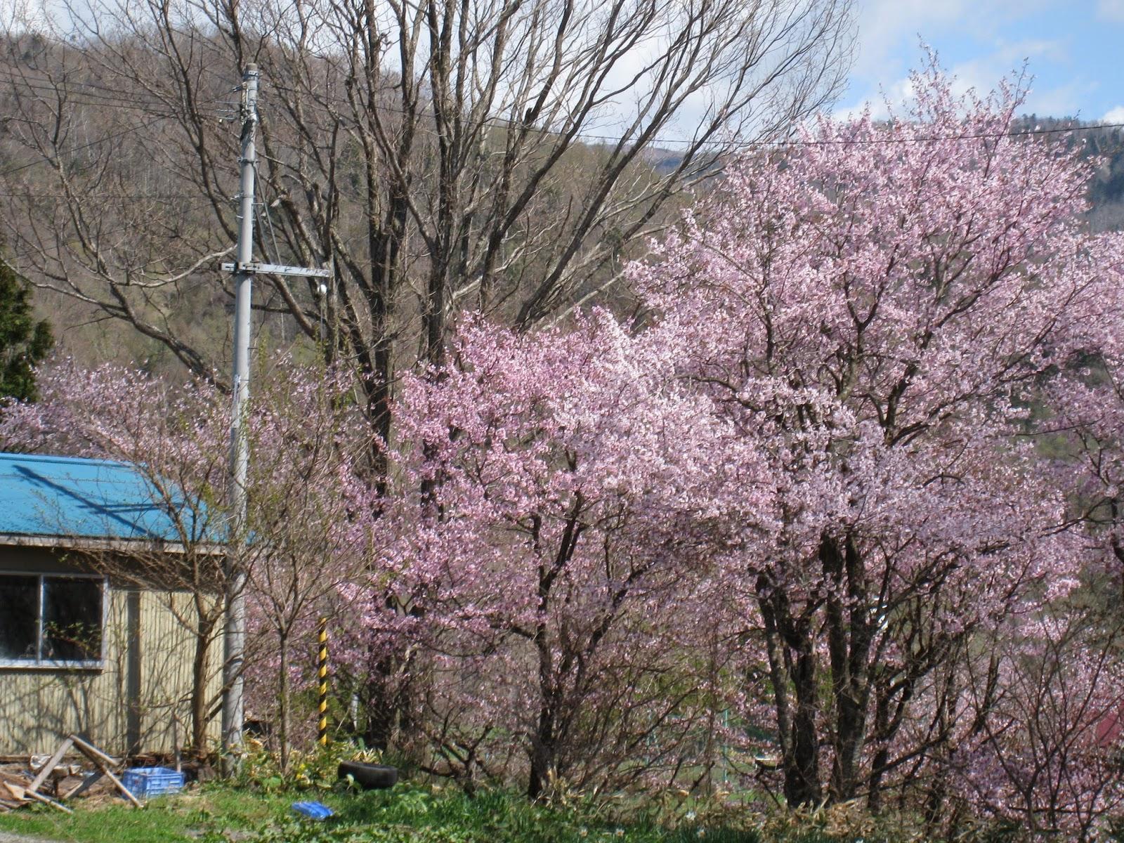 北海道賞櫻季 - 夢幻的五月天 | 北海道菜鳥遊記