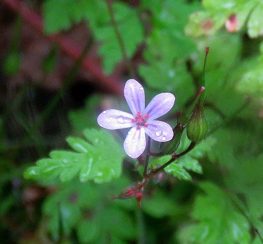 Bodziszek cuchnący (Geranium robertianum).