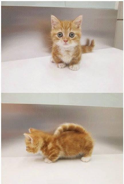 Ini Dia Keimutan Kucing Berkaki Pendek, Simak Ulasannya!