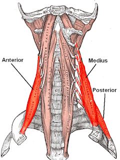scalenes muscle, action, muscle picture