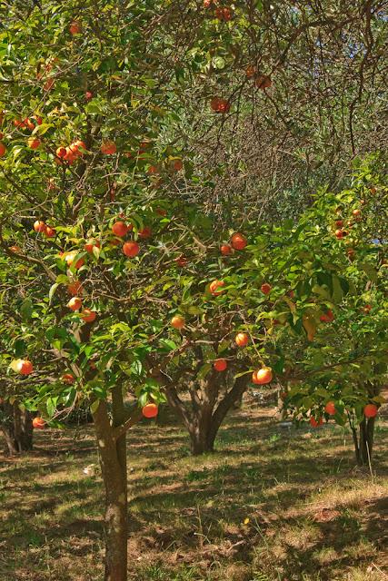 Orange trees. Corfu. Greece. Апельсиновые деревья. Корфу. Греция.