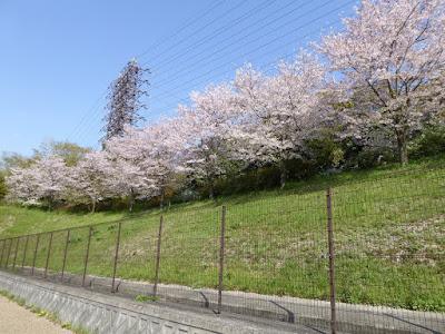 寝屋川公園 第二京阪道路沿いの桜
