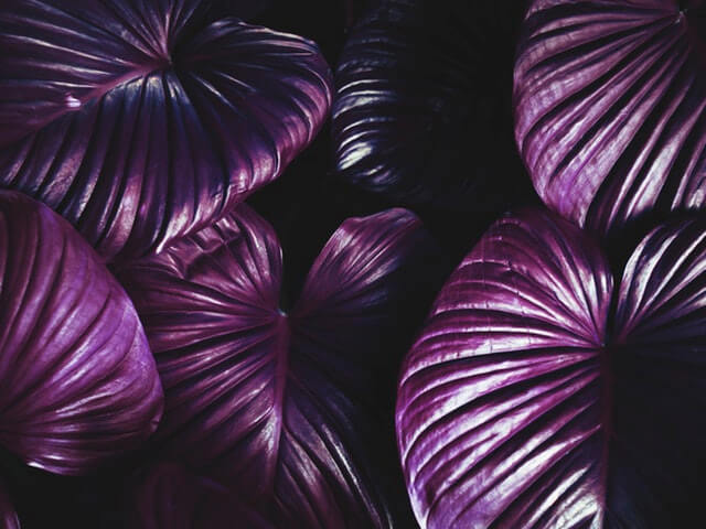 Purple Leaves HD Copyright Free Image