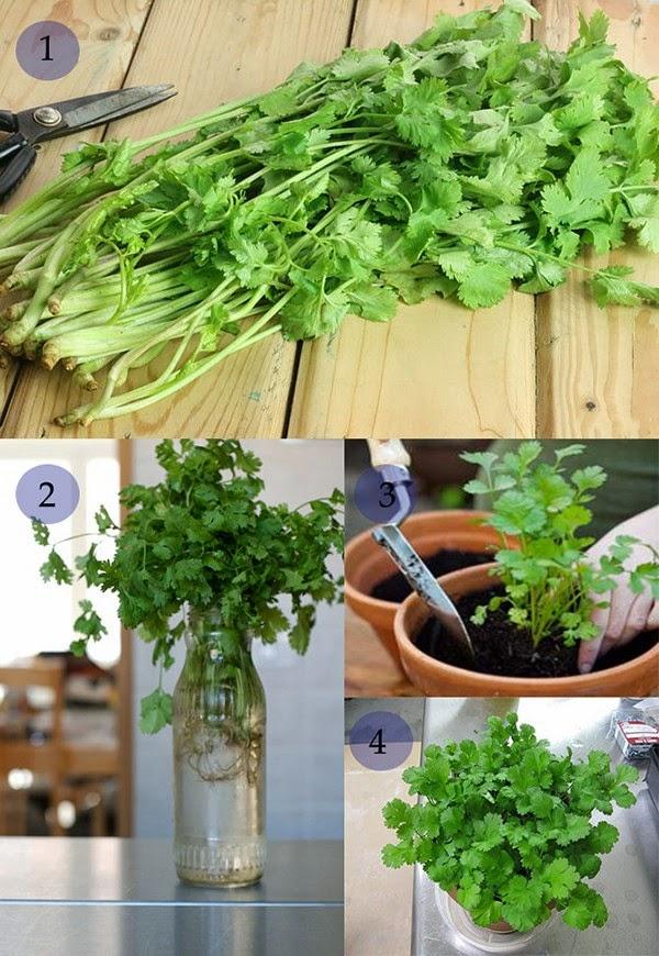 Rau mùi Cách trồng rau sạch tại nhà